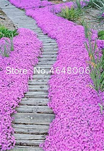 agrobits semi: 200 pz timo bonsai cress copertura vegetale carpet evergreen s facile da coltivare per prato giardino: 2