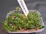 PLAT FIRM GERMINATIONSAMEN: 100 Samen: Jiaogulansamen, Gynostemma Pentaphyllum, Kräuter der Unsterblichkeit