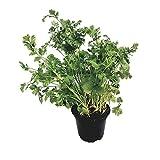 Koriander - frische Koriander-Pflanze im großen Topf vom Gärtner