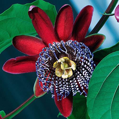 Qulista Samenhaus - Selten exotisch Maracuja-Pflanze lecker saftreich Passionsfrüchte Obstsamen Blumensamen winterhart mehrjährig Kletterpflanze für Terrasse, Balkon und Wintergarten