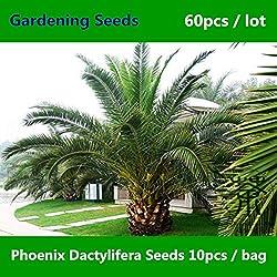 Shopmeeko ^^ Familie Arecaceae Phoenix Dactylifera ^^^^ 60pcs, Zierpflanze Dattelpalme Grüner Gartenbau ^^^^, Landschaftsbaum Hai Zao ^^^^