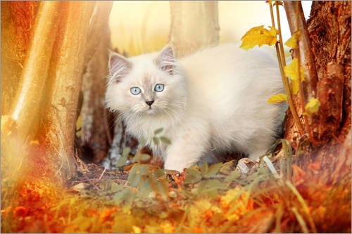 Poster 91 x 61 cm: Young Ragdoll Kitten in The Woods di Monika Leirich - Stampa Artistica Professionale, Nuovo Poster Artistico