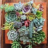 Kisshes Seeds- 50Pcs Semillas Succulents,Bonsai Suculentas Semillas de plantas Cactus y...