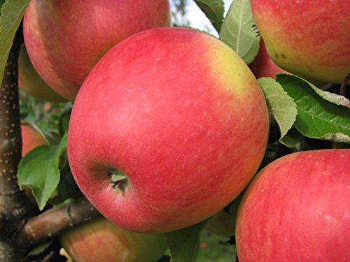 Fruchtbengel, Apfelbaum Pinova, Malus domestica, knackig, saftig, aromatisch süß