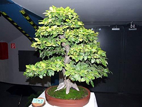 Sconosciuto Semi: 480 Seeds: EUAN Horn, Carpinus betulus, Seme Semi (Caduta a Colori, Bonsai, Potato)