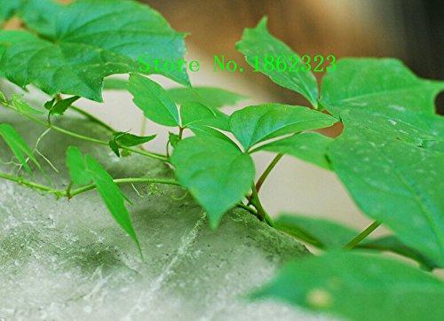 Hot! 100pcs 12 Graines Parthenocissus différentes semences de fleurs de Charme Plantes Bonsai pour Garden Prix de gros