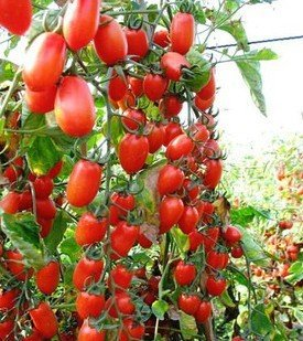 100pcs/pack. Semences de tomates de poire semences de légume de couleur rouge pour le jardin de DIY Le 49%