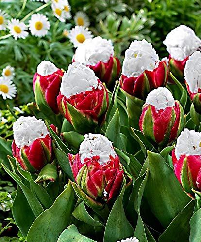 Ice Cream Tulip (Portal Cool Selten 10Pcs Seed Ice Cream Tulpen Tulip Blumentopf Perennial Hausgärten)