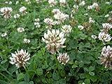 Premier Seeds Direct CLO02 50g Green Manure White Clover Finest Seeds
