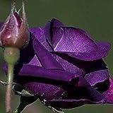 KINGDUO Egrow 50Pcs/Pack Holland Rainbow Rose Seeds Garten Bonsai Blumen Samen-2