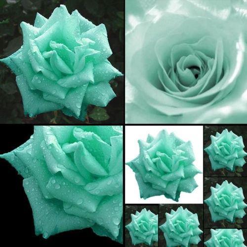 200 pcs Rose vert Graines ariété plantes rares exotiques Succulent Graine Floraison Pot d'escalade jardin