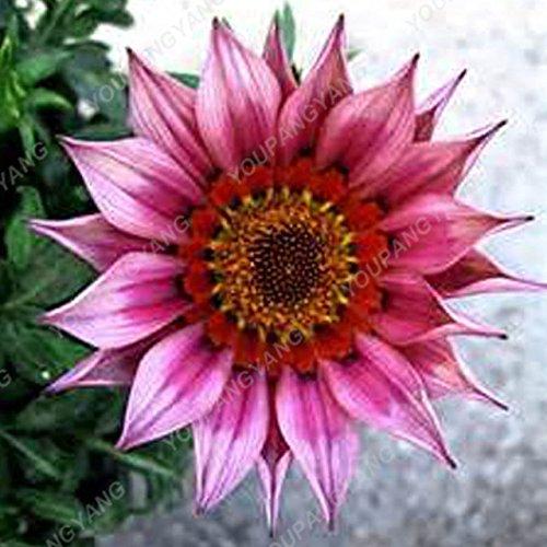 homely 50 pz rara semi di gerbera semi di fiori semi di famiglia giardino colori misti crisantemo perenne piangere facile da coltivare: 9