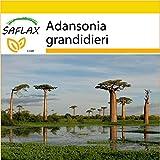 SAFLAX - Set per la coltivazione - Baobab di Grandidier - 2 semi - Adansonia grandidieri