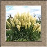 AGROBITS 100pcs New Rare Beeindruckend Lila Pampas-Gras Bonsais Zierhausgarten Pflanzen Blumen Bonsais Cortaderia Selloana: gelb