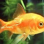 JBL Aradol Plus 250 100 ml, Remedy against carp lice and anchor worms in aquarium fish 6