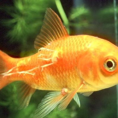JBL Aradol Plus 250 100 ml, Remedy against carp lice and anchor worms in aquarium fish 2