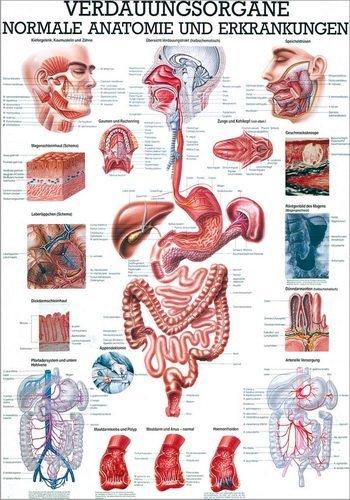 Ruediger Anatomie TA17 Verdauungsorgane Tafel, 70 cm x 100 cm, Papier