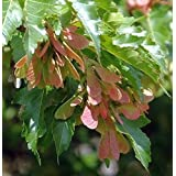 Acer ginnala - Acre del Amor - 20 semillas