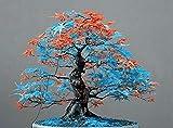 Portal Cool Hoja Naranja Azul arce japonés Bonsai Acer Semillas 20 + Uk Comprar 2 Obtener 1 Gratis