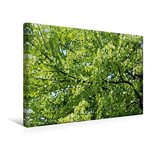 Premium Textil-Leinwand 45 cm x 30 cm quer, Katsura-Baum | Wandbild, Bild auf Keilrahmen, Fertigbild auf echter Leinwand, Leinwanddruck: Der und Parks angepflanzt. (CALVENDO Natur)