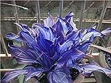 Hosta Samen Bonsai Topfpflanze seltenes Kraut Blühende Pflanzen Bodendecker Seed-Hausgarten Zier Easy Grow 100 PC / Beutel 15