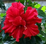 #10: Live Hibiscus/Gudhal Red Double Flower Plant - Healthy Beautiful Flower Plant