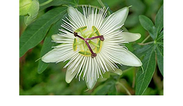 4 X Constance Elliot Passion Flower Passiflora Caerulea Plants