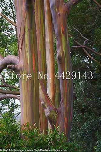Shopmeeko Graines: 2018 Vente Hawaï arc-en-Eucalyptus, 50 Pcs 100% véritable arbre d'ornement exotiques Bonsai croissance naturelle Maison Ornements de jardin: 13