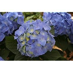 Gartenhortensie blau blühend. 1 Pflanze - zu dem Artikel bekommen Sie gratis ein Paar Handschuhe für die Gartenarbeit dazu