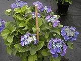 Bauernhortensie Blaumeise - Tellerhortensie - Gartenhortensie - Hydrangea macrophylla Blaumeise
