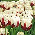 Einfache Späte Tulpe World Expression von Meingartenshop bei Du und dein Garten
