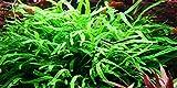Java Trident de helecho - Microsorum Pteropus 'Trident' - planta para Acuario