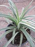 Liriope spicata Silver Dragon - Schleichgras-Affengras