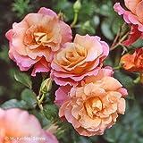 Rose Freisinger Morgenröte Strauchrose mit Blüten-Farbe mehrfarbig-rosa,apricot, gelb, rot - Winterharte Blume mit mittelstarkem Duft - Blütezeit von Juni bis September von Garten Schlüter - Pflanzen
