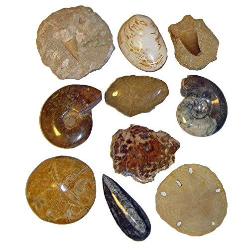 10er Versteinerung Fossilien Sammlung XL je ca. 70 - 100 mm Holz Haizahn Mosazahn Ammonit Sanddollar Orthoceras Goniat Koralle Muschel Seeigel versteinert