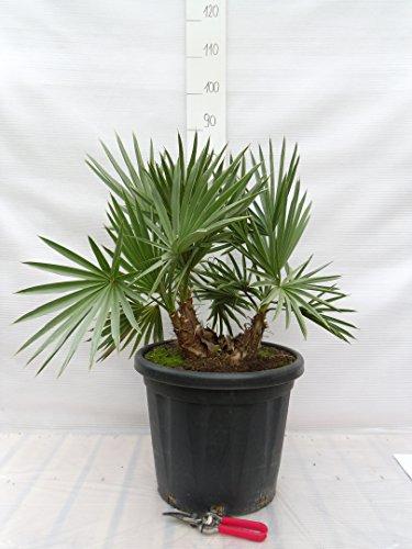 Trithrinax campestris - Blaue Nadelpalme - verschiedene Größen (70-90cm - Ø 40cm - 25 Ltr.)