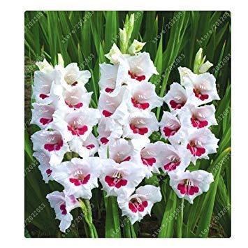 Potseed Echt Gladiolen Zwiebeln, Blumenzwiebeln Rare Schwertlilie Aerobic Topfpflanze Dekoration Garten (Nicht Gladiole Seed) – 2-Birne 6