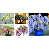 5 Types of Japanese Wisteria Flower Seeds 10 Pcs/lot-Long Blossom Plant