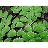 Adiantum cuneatum - Cabello de Venus - Culantrillo - 100 semillas