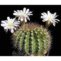 Acanthocalycium klimpelianum seeds