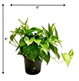 #2: Root Bridges Indoor Green Money Plant (Pot included)