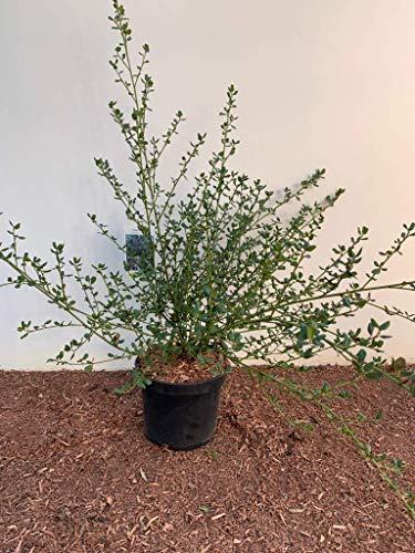 Ceanothus impressus 'Victoria' Säckelblume im Topf gewachsen ca. 40-60cm