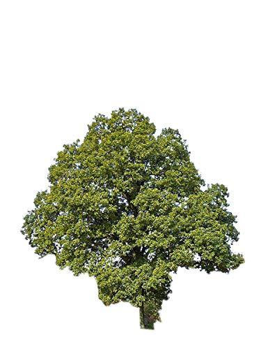 Traubeneiche -Quercus petraea- 20 Samen **Baum des Jahres 2014**