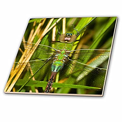 3dRose Common Green Darner, Anax Junius, Dragonfly Female Marion Co. Il - Ceramic Tile, 6-Inch (ct_206550_2)