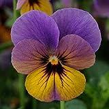 Pack x6 Viola Cornuta Celestial™ Twilight Perennial Alpine Plug Plants