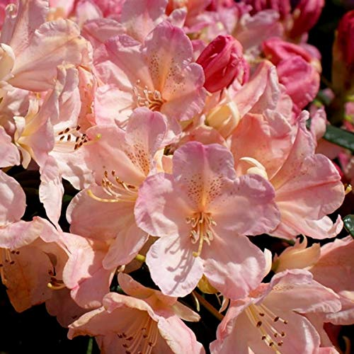 IDEA High Rhododendron Yakushimanum Percy Wiseman – Zwerg Rhododendron – Pflanze in 9 cm Topf