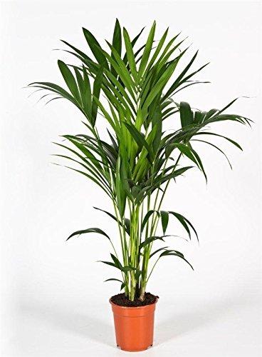 Kentia-Palme, (Howea Forsteriana), wunderschöne Zimmerpflanzepalme, sehr pflegeleicht (ca. 120cm hoch)