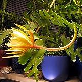 Uswine Epiphyllum Anguliger Sukkulenten Spinne Zig Zag Kaktus Pflanze Hängende...