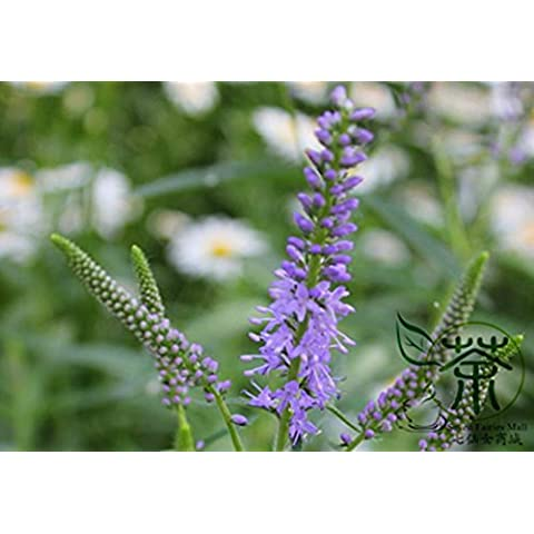 Semi Cascade Viola Aubrieta fiori, professionista Pack, 250 semi * 2 Pack, perenne Groud copertura Deer Resistente # NF908