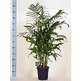 Chamaedorea seifrizii 110-120 cm Bambuspalme Zimmerpflanze